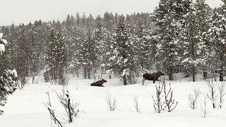 Schweden: Hungrige Elche versinken im Schnee