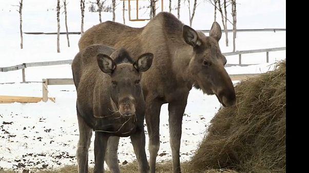 A hó elől menekülnek a jávorszarvasok
