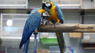 """ببغاوات """"سبيكس"""" المهددة بالانقراض تعود إلى بيئتها الطبيعية في البرازيل"""