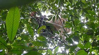 شاهد: العثور على أنثى قرد أورانغ أوتان نادرة