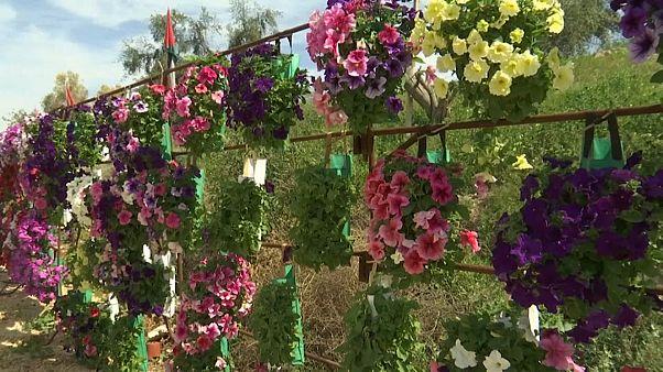 مهرجان الزهور في بلدة الكرامة الأردنية