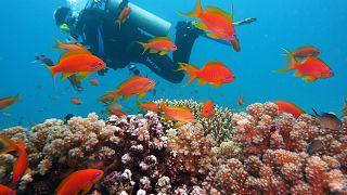 مصر: دعوة لحماية ما يمكن أن تكون في المستقبل أخر شعاب مرجانية في العالم