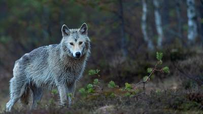 Wolves back from the brink of extinction in Germany after 100 years