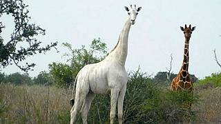 made available by the Ishaqbini Hirola Community Conservancy shows the rare white giraffe taken on May 31, 2017, in Garissa county in North Eastern Kenya.