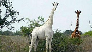 La girafe blanche femelle prise en photo le 31 mai 2017 dans la réserve de Garissa, au Kenya