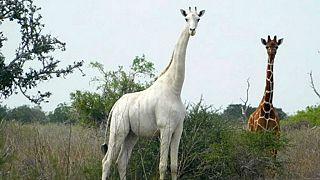 Kenia: letzte weibliche weiße Giraffe von Wilderern getötet