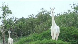 الزرافة البيضاء الوحيدة الموجودة في كينيا مع صغيرها في محمية في شرق البلاد