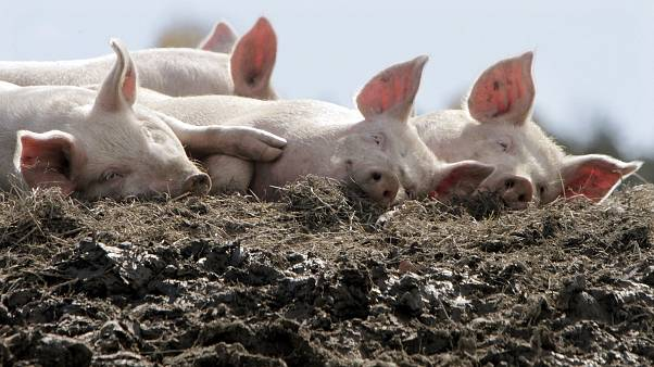 A group of pigs enjoy the afternoon sun in their pen at the Dodge Farm in Berlin
