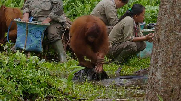 Video | Orangutan Cinta'dan koronavirüse karşı el yıkama dersi