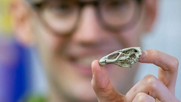 The fossil dubbed 'Wonderchicken'