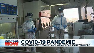 Coronavirus: researchers in Belgium announce potential breakthrough using Llama antibody
