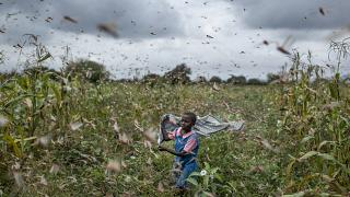 In this  Jan. 24, 2020 photo, a farmer's daughter waves her shawl in the air to try to chase away swarms of desert locusts from her crops, in Katitika village, Kenya.