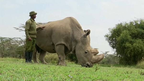 Aumenta o número de rinocerontes negros