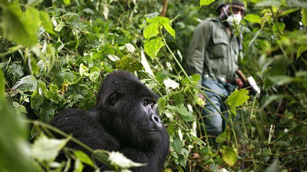 Virus Outbreak Congo Africa Gorillas