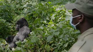 Coronavirus bedroht Gorillas - Kongo schließt Nationalpark
