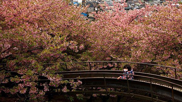 اليابان تحتفل بكرنفال الكرز رغم مخاطر انتشار فيروس كورونا القاتل