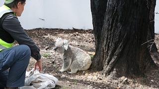 Австралия: спасенных от пожаров коал выпускают на волю
