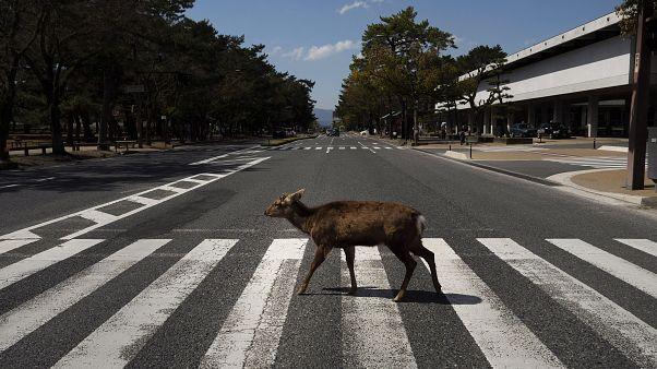 صور: الغزلان تستمتع بالتجول بشوارع مدينة يابانية خاوية بسبب كورونا