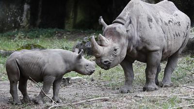 Critically endangered Black Rhino populations increase in Africa