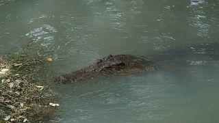 Afrikai krokodil (illusztráció)