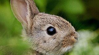 زوج فرانسوی به دلیل خرگوشگردانی در شرایط قرنطینه جریمه شدند