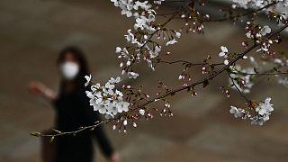 Cseresznyefa virágzás Tokióban