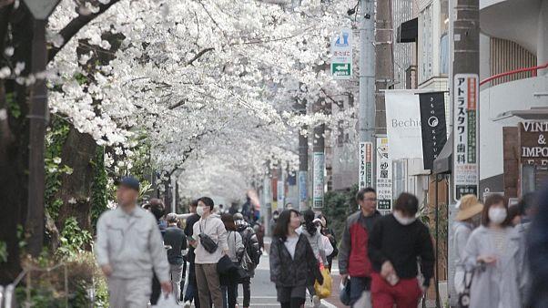 شوق بهار در فصل کرونا؛ شکوفههای گیلاس امید را در دل ژاپنیها زنده کرد