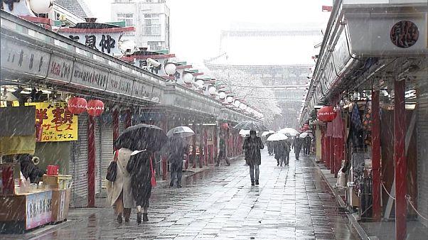 Снег на цветах сакуры