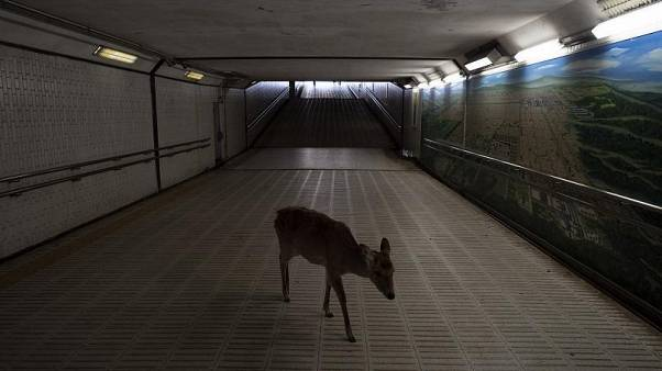 A deer walks through an underpass in search for food in Nara, Japan, Tuesday, March 17, 2020.