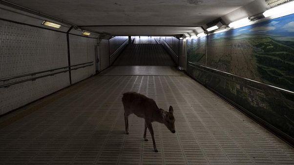 Animales salvajes aprovechan la cuarentena para reconquistar las ciudades