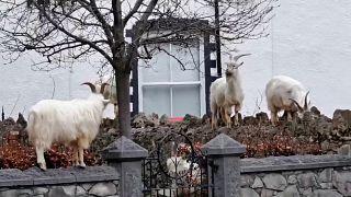 قطعان من الماعز تمشي وتقفز بحرية في شوارع في مدينة لينديدنو في ويلز