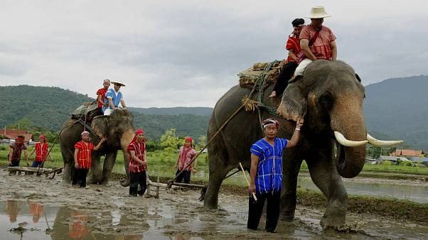 تراجع قطاع السياحة في تايلاند بسبب فيروس كورونا والفيلة أول المتضررين