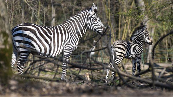 Zebracsikó született Nyíregyházán - Támogató jegyet árul online az állatpark