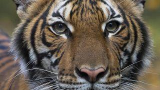 Virus Outbreak Tiger