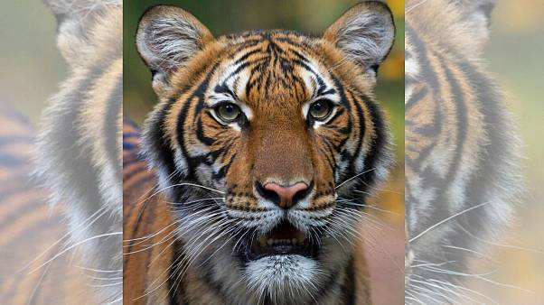 کرونا و حیوانات؛ ببر باغ وحش نیویورک هم پس از گربهای در بلژیک «کووید ۱۹» گرفت