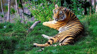 للحيوانات أيضا نصيب.. إصابة أنثى نمر في نيويورك بفيروس كورونا