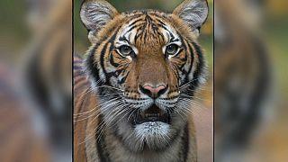 Dans le zoo du Bronx, une tigresse testée positive au Covid-19