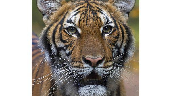 Nadia, el tigre malayo del zoológico del Bronx en Nueva York, dio positivo por COVID-19. Se cree que la contagió un cuidador