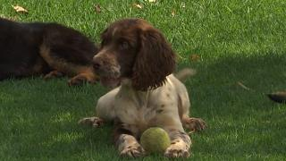 Could sniffer dogs be trained to discover if someone has coronavirus?