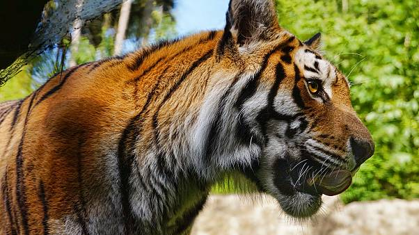 В Нью-Йорке тигр заразился коронавирусом