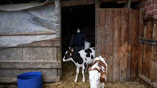 Archive: Italian milk farmer Massima Santoro, wearing a face mask, feeds calves in her farm on March 26, 2020 (Photo by MARCO BERTORELLO / AFP)