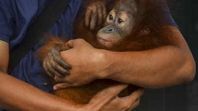 A conservationist holds an orangutan baby after being rescued from smuggling attempt.