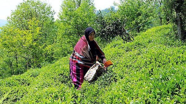 Karadeniz'de çay hasadı Covid-19 gölgesinde başladı: Çay yapraklarını yerli işçiler topluyor