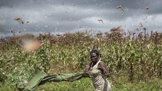 أكبر موجة جراد منذ 70 عاماً تهدد الملايين في شرق إفريقيا