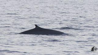 Oluklu balina, Arşiv fotoğrafı