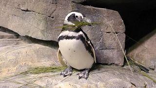 ویدئو؛ لانهسازی پنگوئنها در آکواریوم شیکاگو