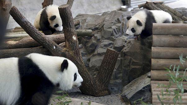Berlin Hayvanat Bahçesi pandalar