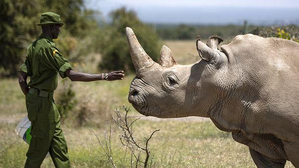 Kenya Endangered Rhino Embryo