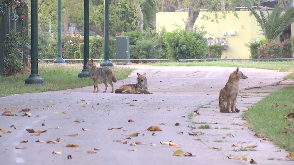 День шакала в городском парке