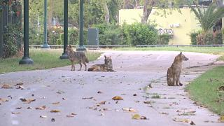 Day of the Jackal: Lockdown quiet brings out wild animals in Tel Aviv